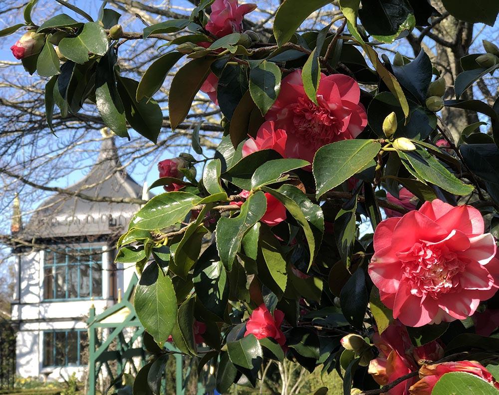 2019_09_14_Camellia_Montacute_9660_1000