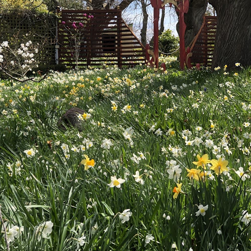 2019_09_26_Daffodils_9788_1000